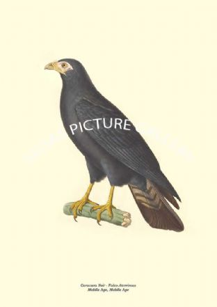 Caracara Noir - Falco Aterrimus, Middle Age, Middle Age